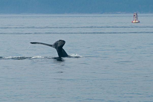 Baleine à bosse au Bas-Saint-Laurent