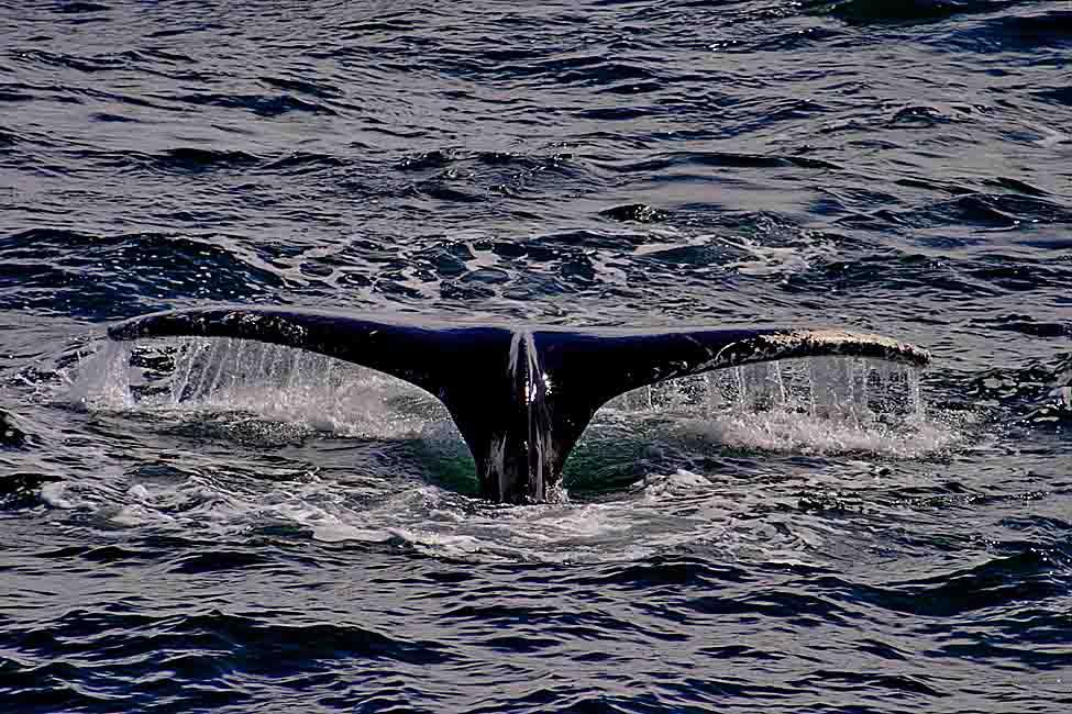 Baleine à bosses dans le détroit de Gerlache