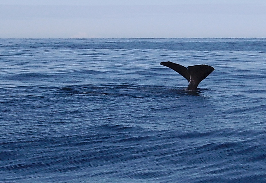 Baleine à Kaikoura en Nouvelle Zelande