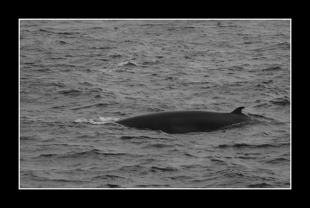 baleine du Canada