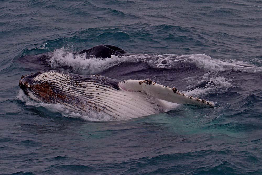 Baleine et baleineau en Antarctique
