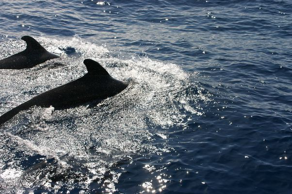 baleine pilote 3 îles canaries