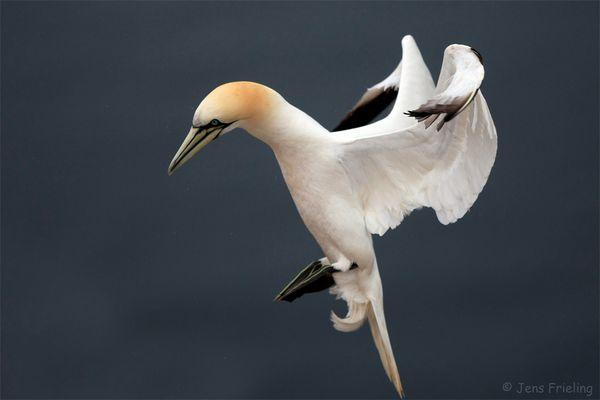 Balettfigur Basstölpel Helgoland