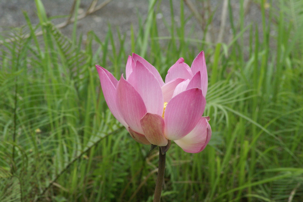BALI - Fleur de lotus