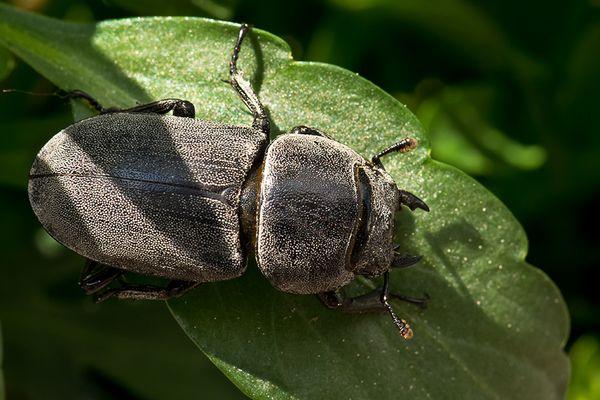 Balkenschröter (Dorcus parallelopipedes)