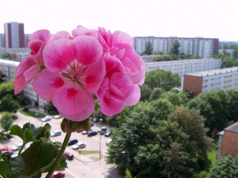 Balkonblume im Sommer