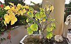 Balkonbonsais Herbst (als Mittwochsblümchen)
