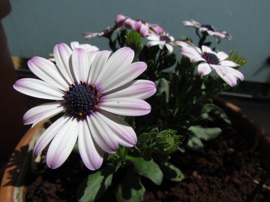 Balkonpflanze #2