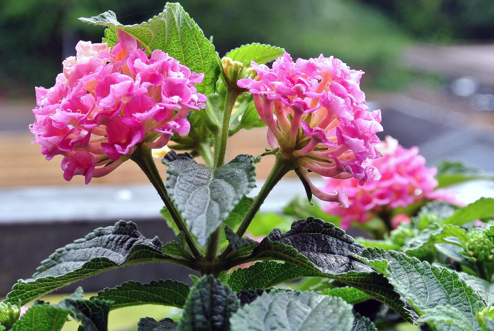 Balkonpflanze im Regen