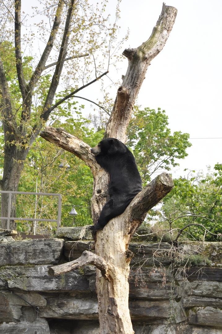 Balu, der Bär