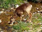 Bambi se désaltère !