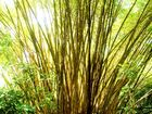 Bamboo in Costa Rica (Manuel Antonio National Parc)