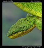 Bamboo pit viper (Trimeresurus gramineus)