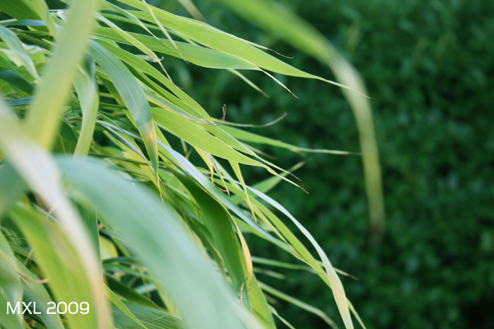 bamboo's leaves