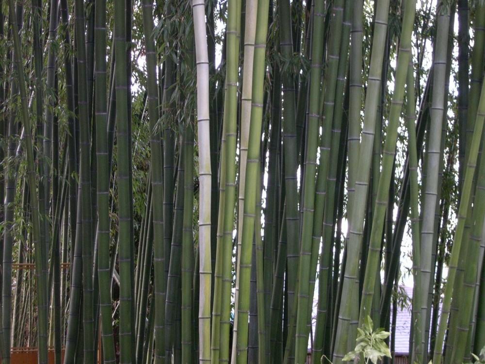 Bambu in Kyoto