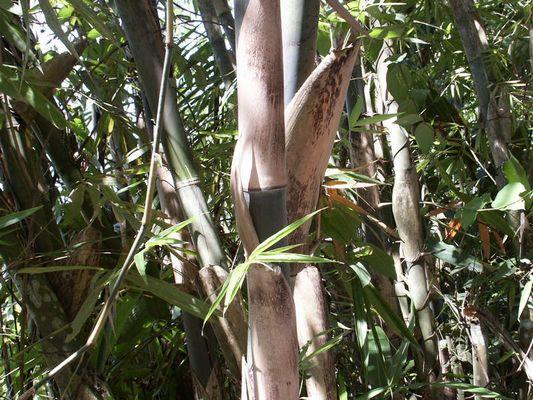 """Bambus aus Bali """" Was für ein Gras """"  !!!!"""