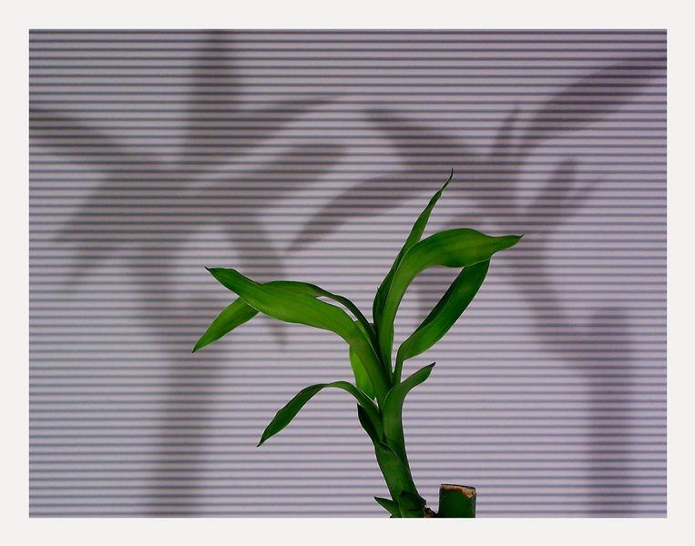...Bambus....