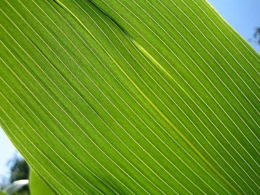 Bambus Blatt