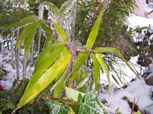 """""""Bambus on Ice"""""""