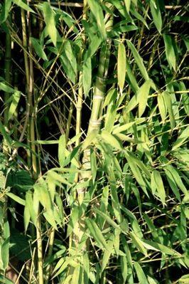 Bambuss mal ganz nah