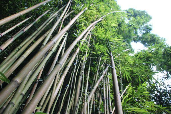 Bambuswald auf Maui