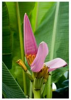 Banana Flower - Camiguin Island