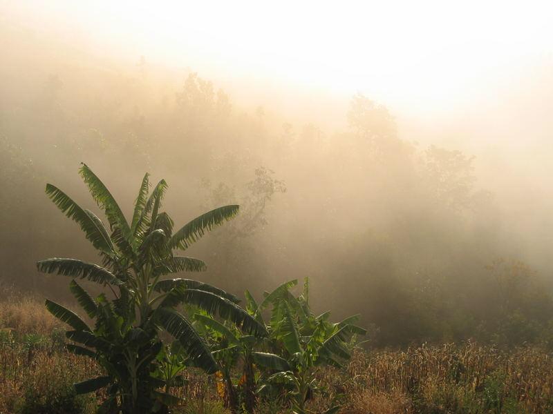 Banana in mist