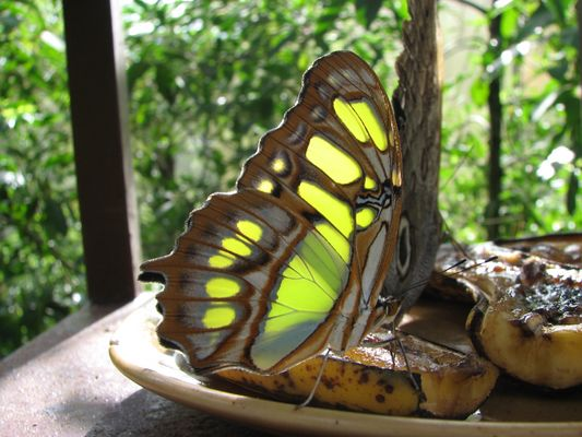 Bananabutterfly