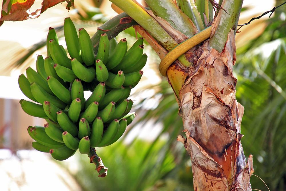 Banane gefällig?