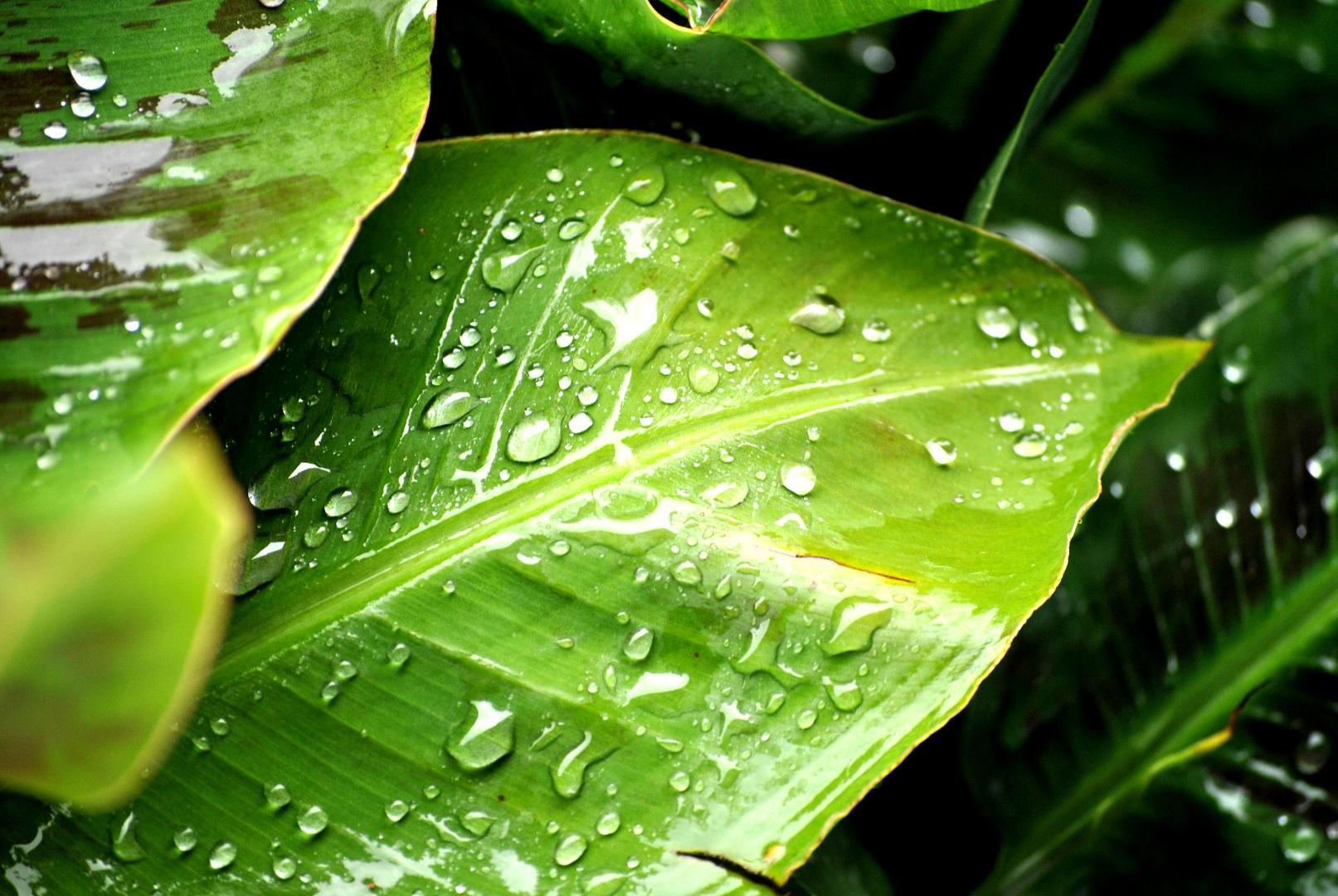 Banane im Regen