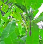 Bananen-Pendel