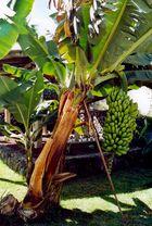 Bananen-Staude