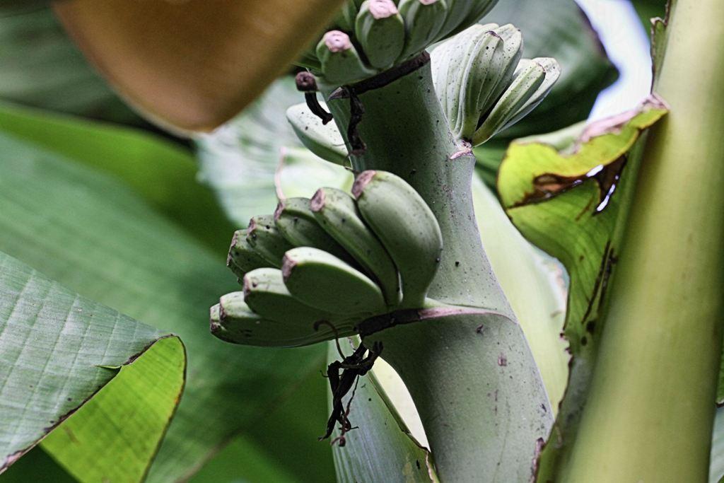 Bananen von der Badischen Sonne verwöhnt (Ihringen am Kaiserstuhl)