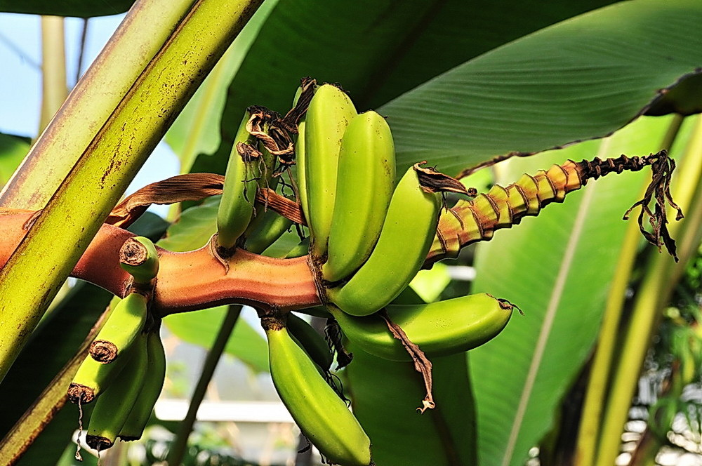 """"""" Bananen1 """""""