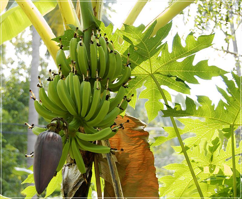 bananenbaum foto bild pflanzen pilze flechten. Black Bedroom Furniture Sets. Home Design Ideas