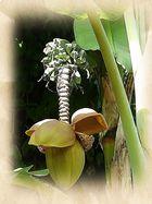 Bananenbaum