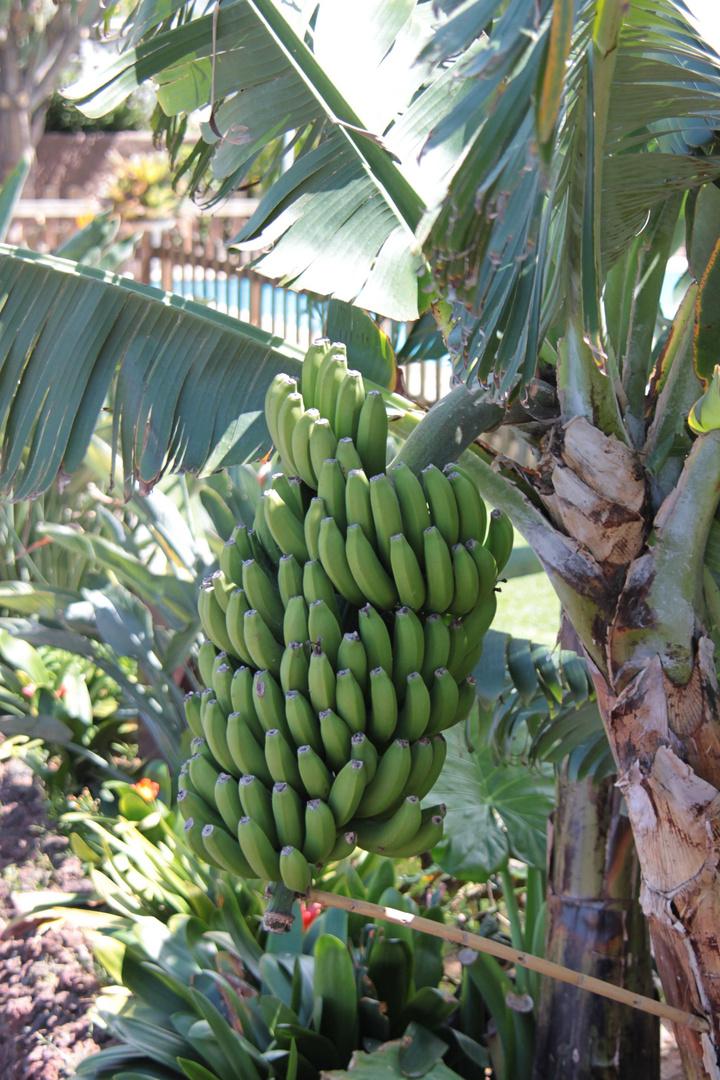 Bananenbaum im März