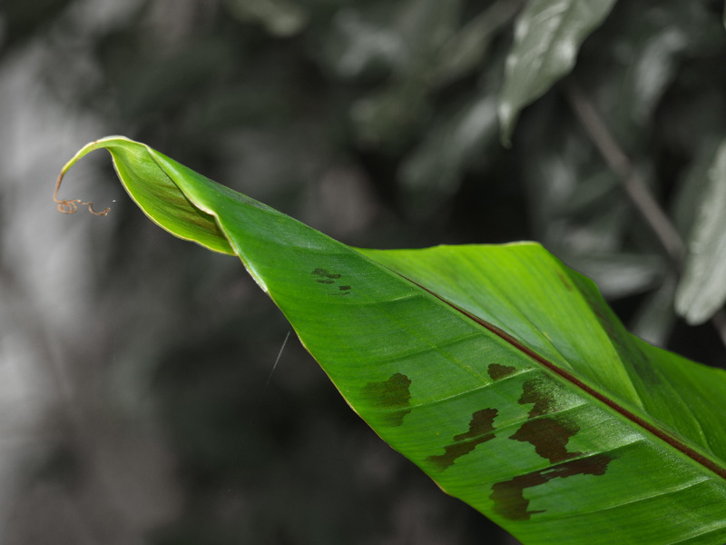 Bananenbaumblatt