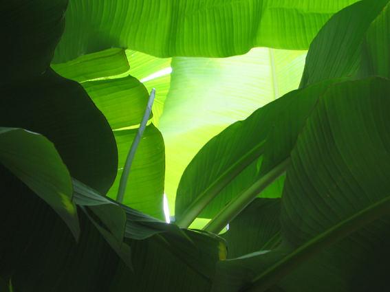 Bananenblätter im Gegenlicht