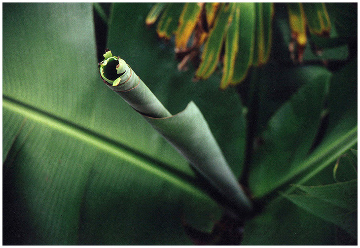 """Bananenblatt (""""Rollout"""")"""