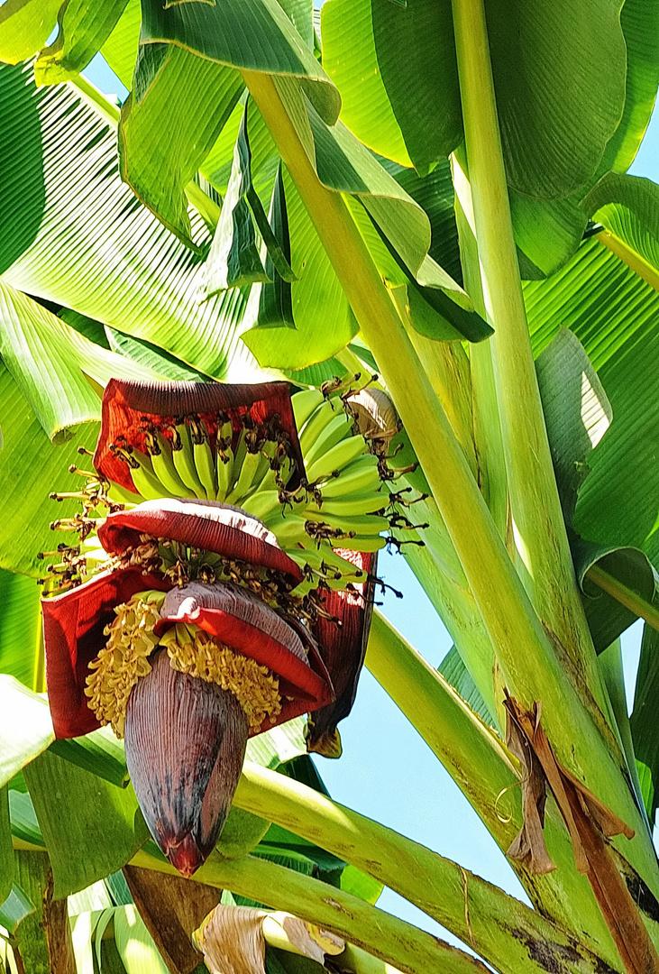 """ Bananenbluete "" , Aklan - Panay - Sept. 2010"