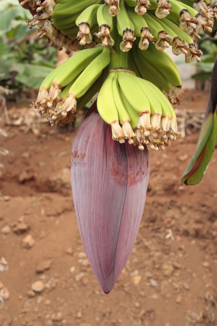 Bananenblüte auf Madeira