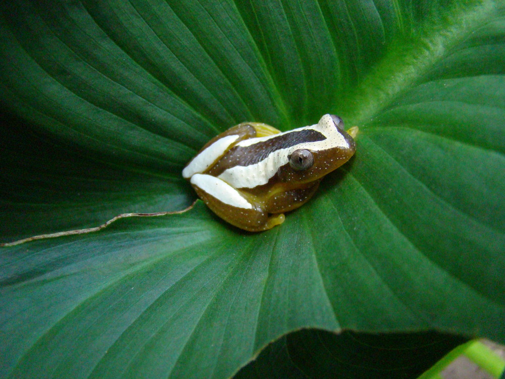 Bananenfrosch Afrixalus fornasinii