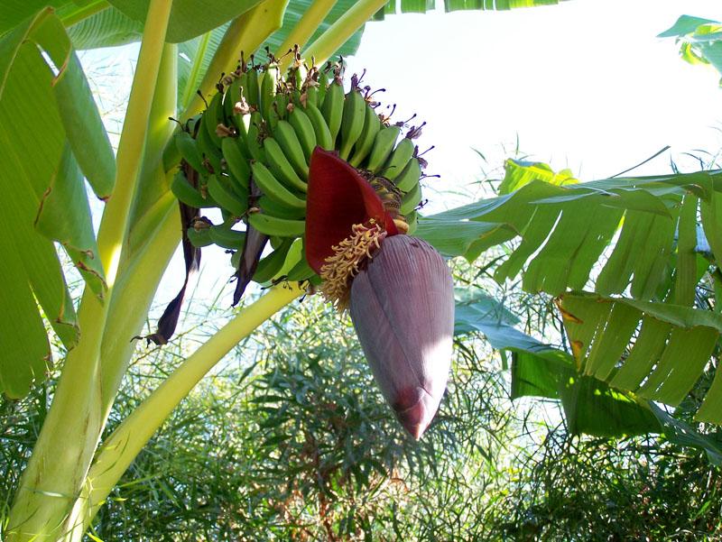 bananenpflanze in der t rkei foto bild pflanzen pilze. Black Bedroom Furniture Sets. Home Design Ideas