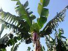 Bananenstaude auf La Gomera