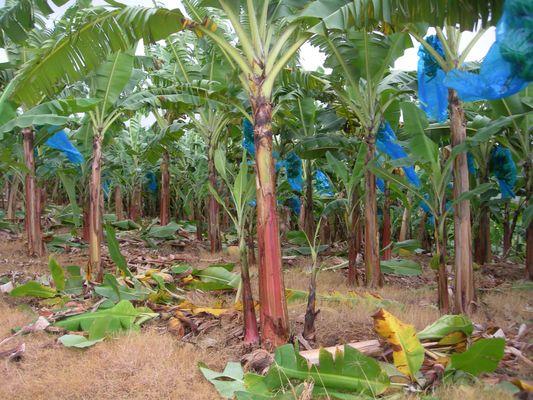 bananes bleues