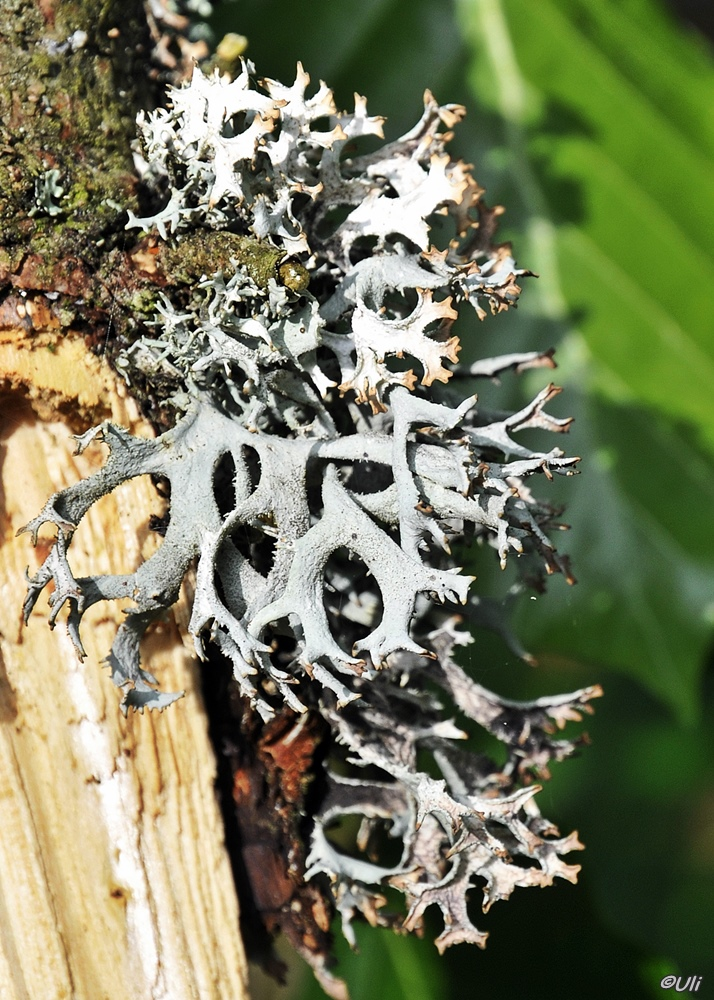 Bandartige Blasenflechte (Hypogymnia vittata)