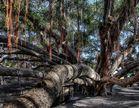 Banyan Baum