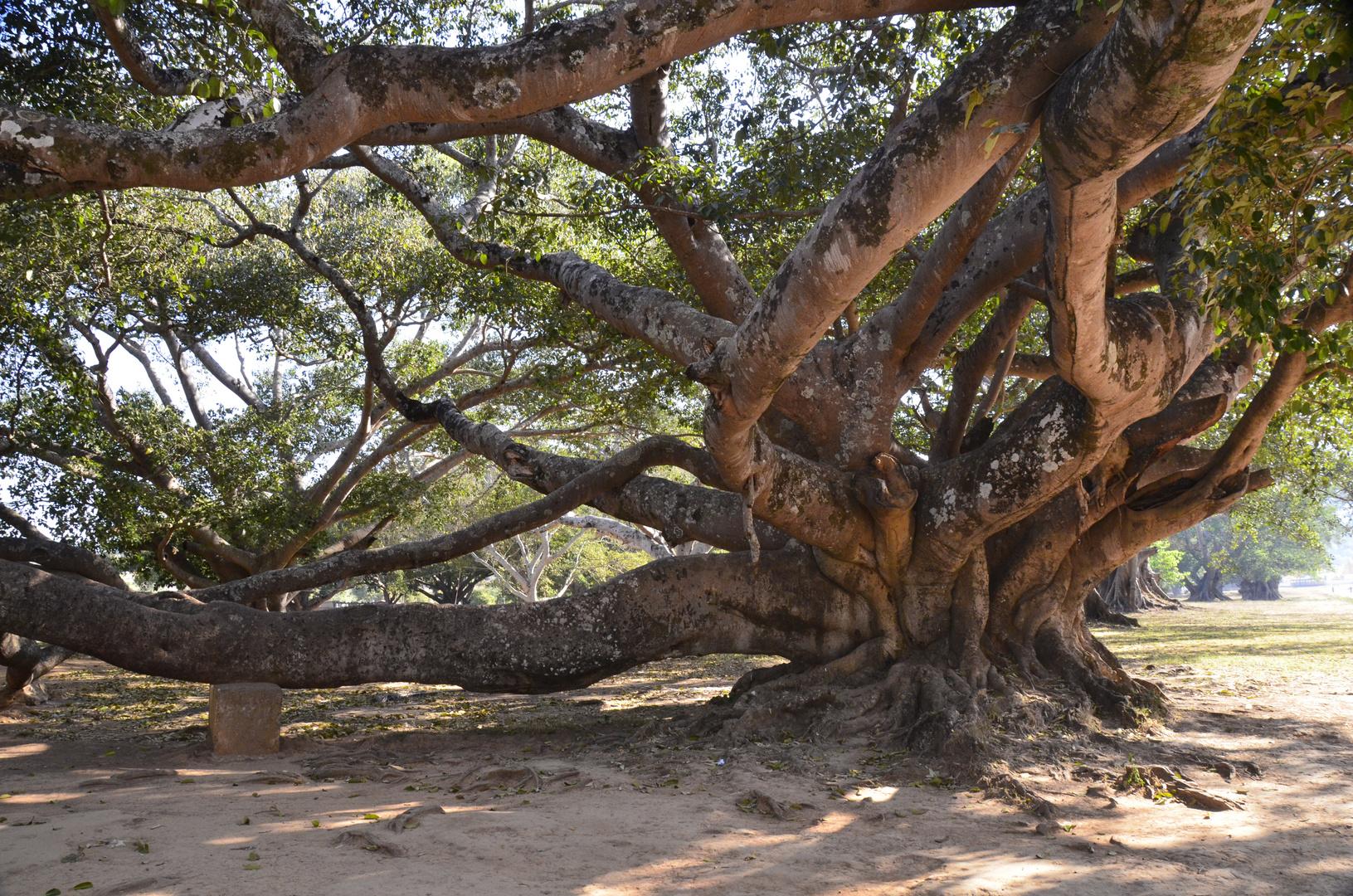 Banyanbaum in Pindaya, Burma
