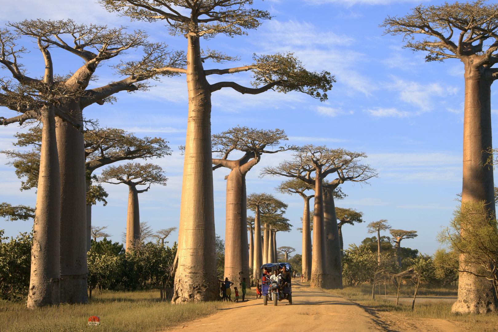 baobab allee bei morondava foto bild world b ume natur bilder auf fotocommunity. Black Bedroom Furniture Sets. Home Design Ideas